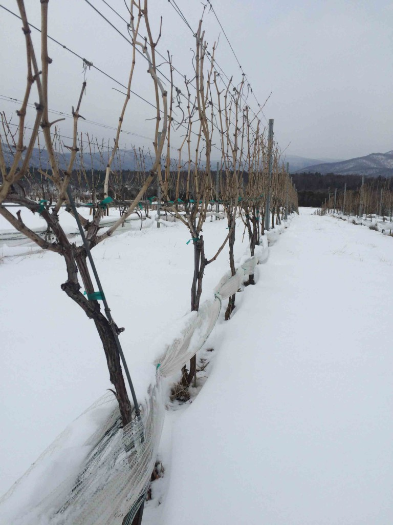 Stinson grape vines in snow