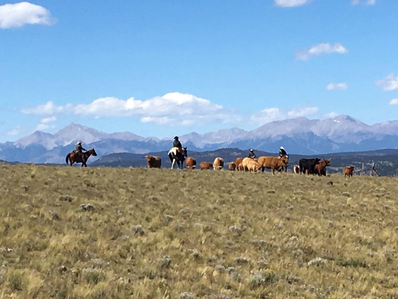 Moving-cows-at-Badger-Creek-Ranch